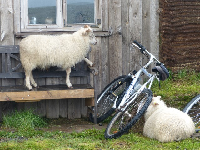Icelandic sheep's sense of humor