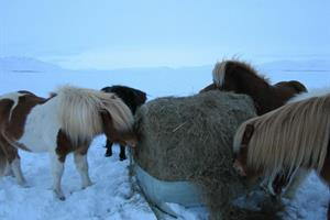 Icelandic horses feasting on hay during winter