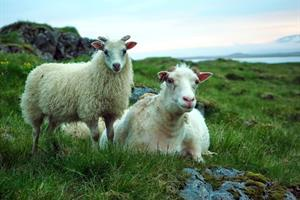 The Icelandic sheep family