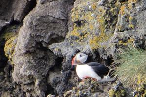 The largest puffin colony in the world