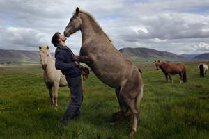 Getting to know the Icelandic horse