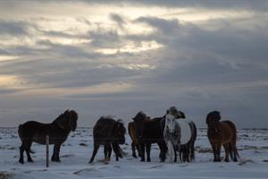 Icelandic horses wearing their winter coat