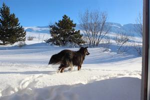 The dog Tumi playing in the snow at Vökuland