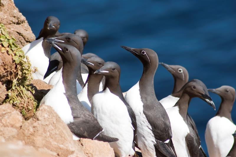 Brünnich's guillemot at Langanes Peninsula