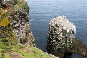 Northern Gannets at Stóri-Karl sea stack