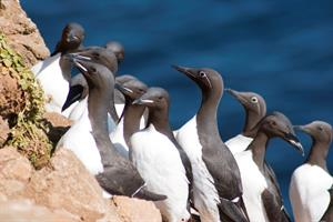 Guillemot at Fontur