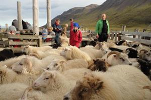 Sheep round-up in the autumn