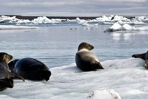 Seals can sometimes be spotted laying on the icebergs