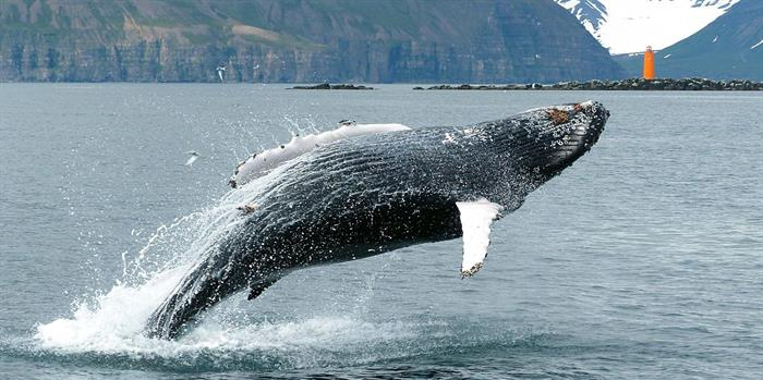 Things to do in North Iceland - Whale watching