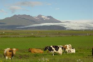 Fláajökull Glacier and cows