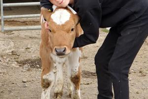 Greeting a calf at Stóra-Ásgeirsá petting zoo