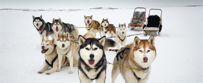 Things to do in North Iceland - Dog sledding