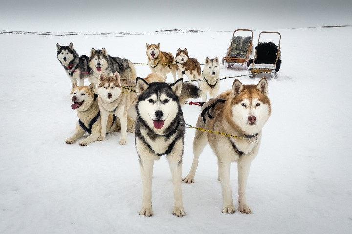 1-Shelby - Gone to the Snow Dogs | Siberian Husky Love