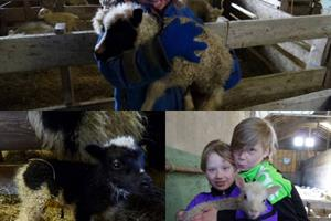 Participate in the lambing season at Stóra-Ásgeirsá