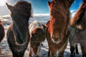 Icelandic winter horses