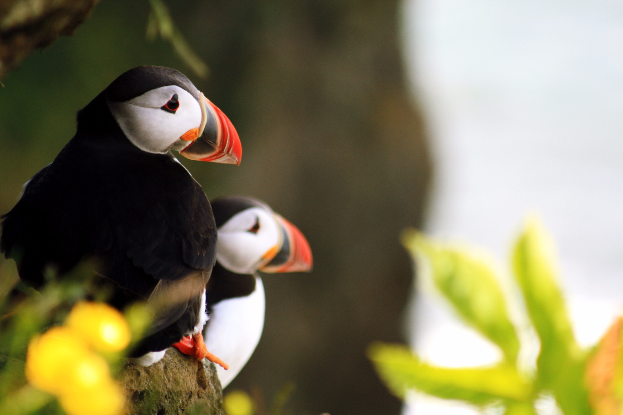 Puffins on the cliff of Dyrohaley.jpg