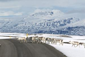 Herd of Reindeers in East Iceland