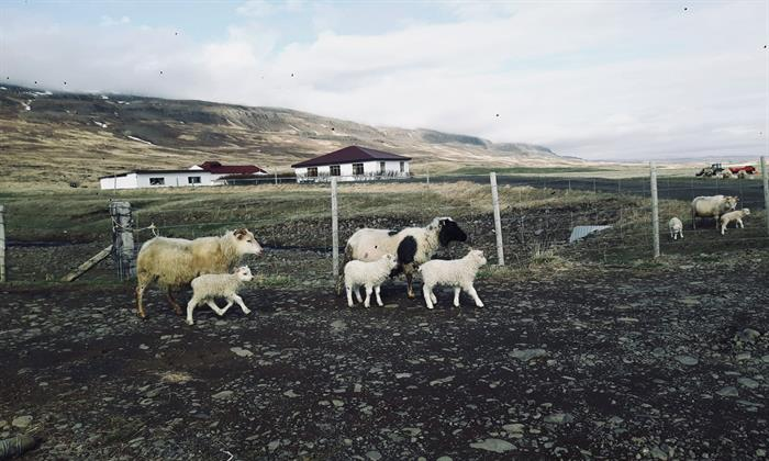 Sheep and lambs roam free during the Summer