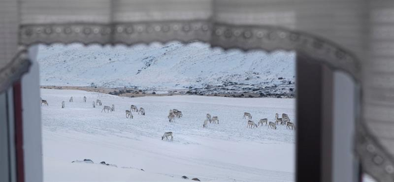 Reindeers in East Iceland in Wintertime