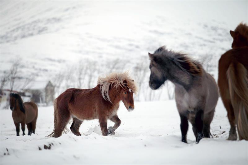 Skorrahestar - Horse riding Tour in Winter