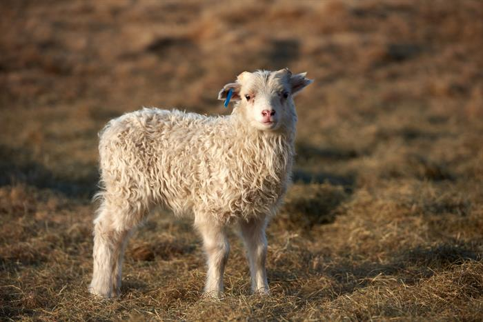 Lambing Season is in Full Swing in Iceland