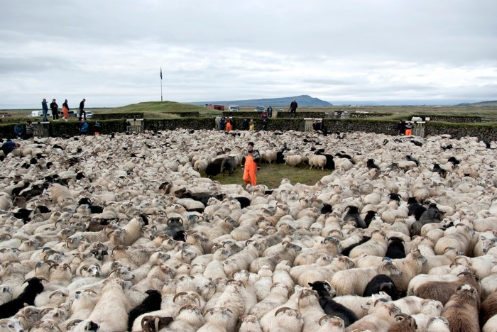 Sheep round-up in Iceland