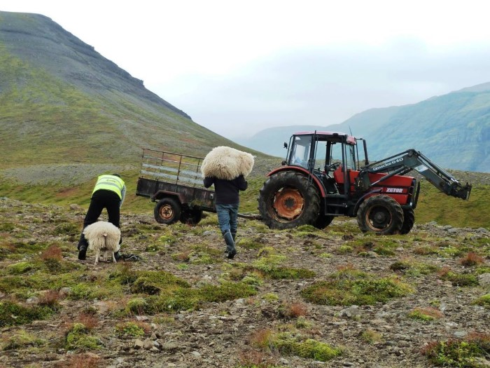 Icelandic farmers working