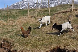 Baby goats chasing a hen