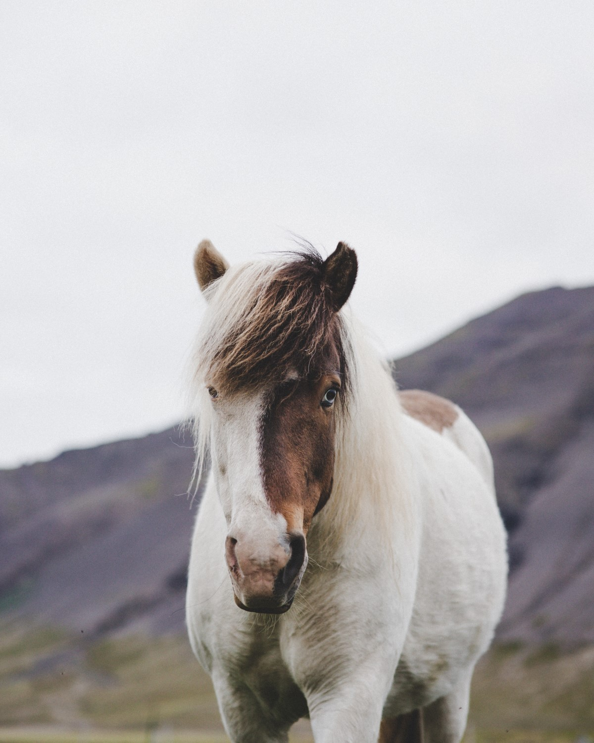 Icelandic horse looking at you
