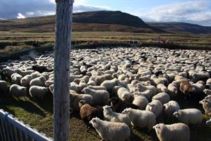 Sheep round-up in autumn