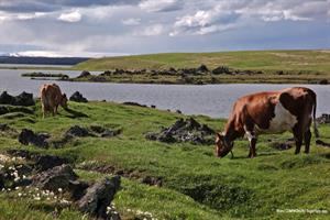 Cows by lake Mývatn