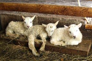 Lambs cuddling up to one another in the barn