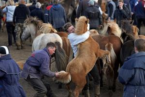 Víðidalsrétt horse round-up in Northwest Iceland