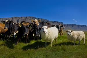 Icelandic sheep and cows