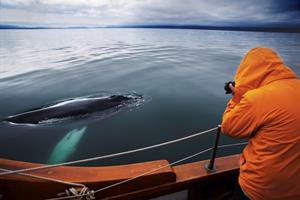 Whale watching with North Sailing in North Iceland