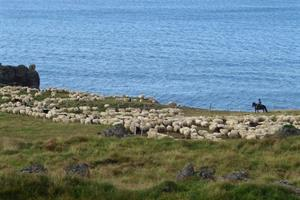 Sheep round up in early autumn