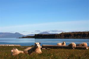 Sheep at Vatnsnes peninsula