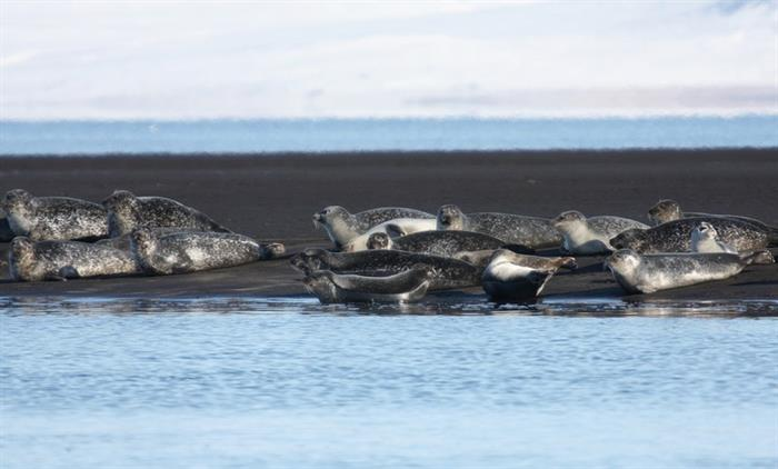 Things to do in North Iceland - Seals watching
