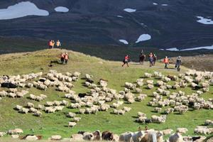 Gathering the sheep in the autumn