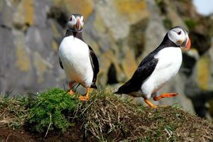 Puffins at Cape Dyrhólaey