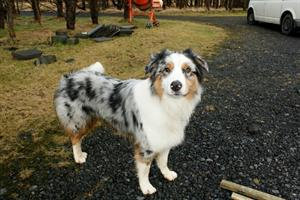 The dog at Hjarðarból