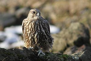 Rich birdlife nearby  - Gyrfalcon (Falco rusticolus)