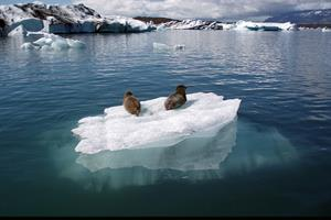 Seals resting on the ice