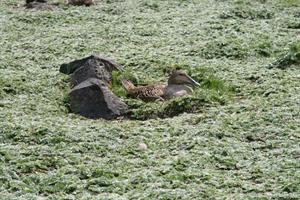 Taking care of the Common Eider - A Common Eider resting on its nest