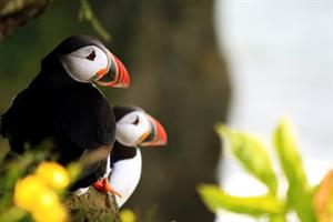 Puffin Express -Puffins resting on a beautiful summer day