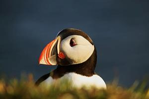 Puffin Express -Puffin enjoying the evening sun