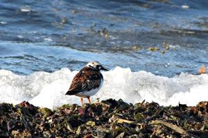 Turnstone on the shore