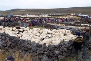Sheep round up in autumn