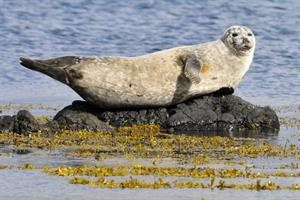 Seal resting by Vatnsnes Peninsula, North Iceland.