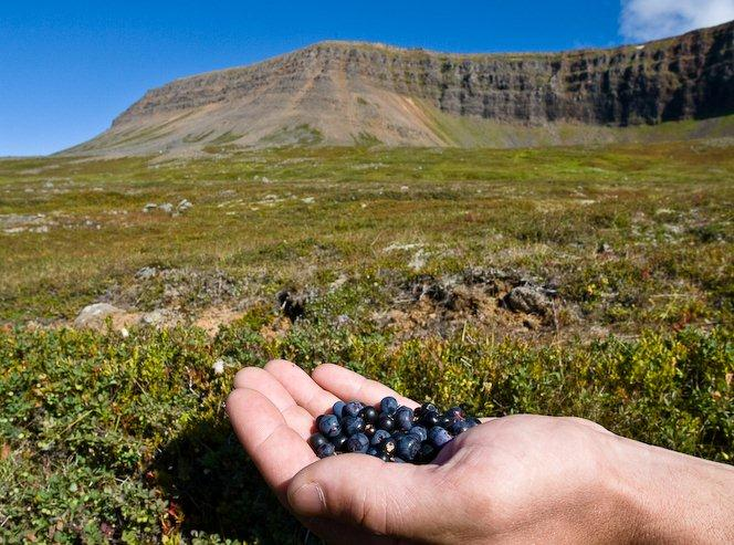 Berry picking in Iceland's Westfjords